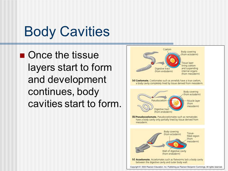 Body Cavities Once the tissue layers start to form and development continues, body cavities start to form.