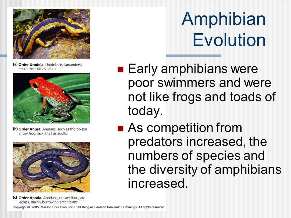 Amphibian Evolution Early amphibians were poor swimmers and were not like frogs and toads of today.