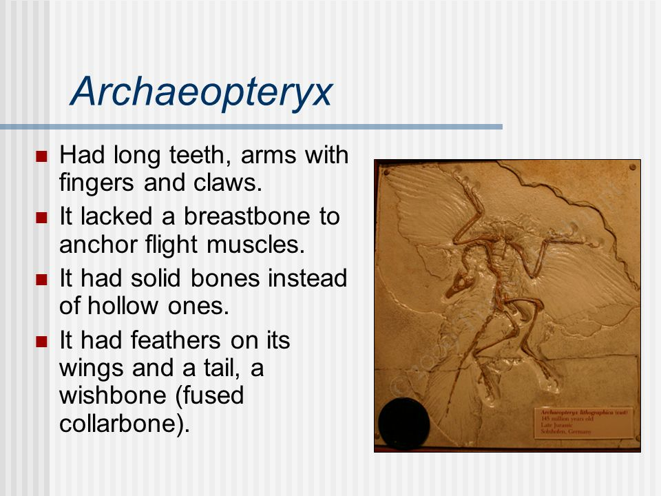 Archaeopteryx Had long teeth, arms with fingers and claws.