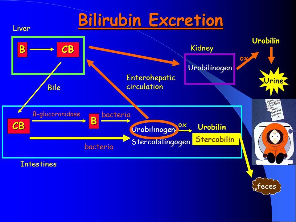 Bilirubin Excretion B CB B CB Liver Urobilin Kidney ox Urobilinogen