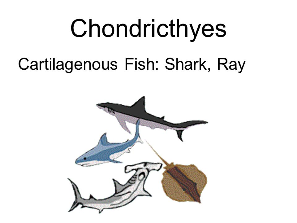 Chondricthyes Cartilagenous Fish: Shark, Ray
