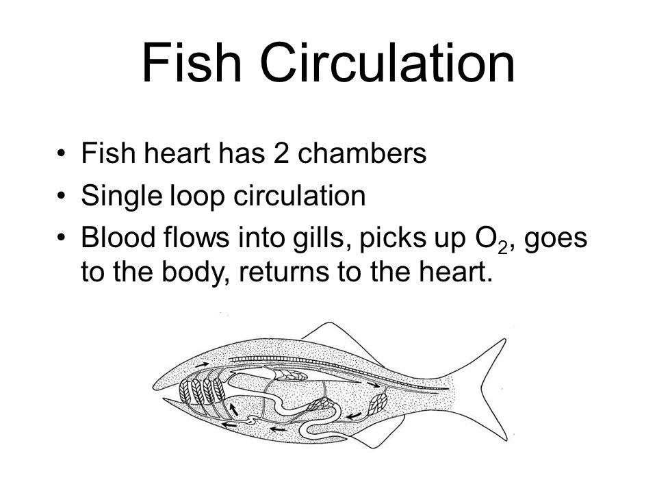 Fish Circulation Fish heart has 2 chambers Single loop circulation