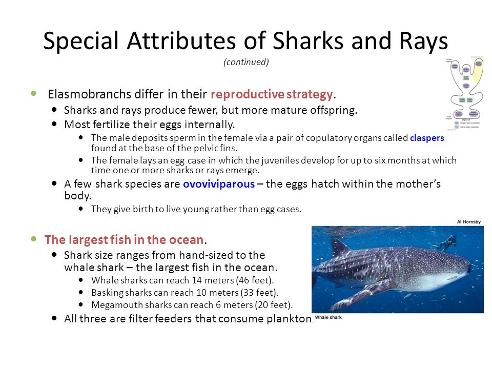 Special Attributes of Sharks and Rays (continued)