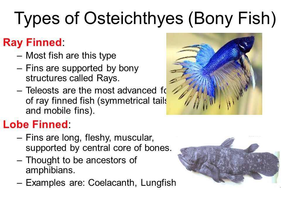 Types of Osteichthyes (Bony Fish)