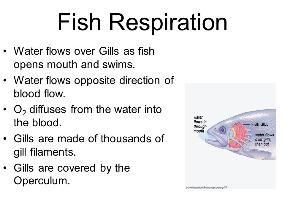 Fish Respiration Water flows over Gills as fish opens mouth and swims.