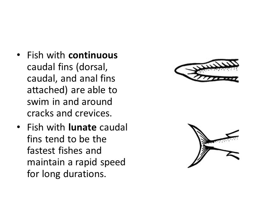Fish with continuous caudal fins (dorsal, caudal, and anal fins attached) are able to swim in and around cracks and crevices.