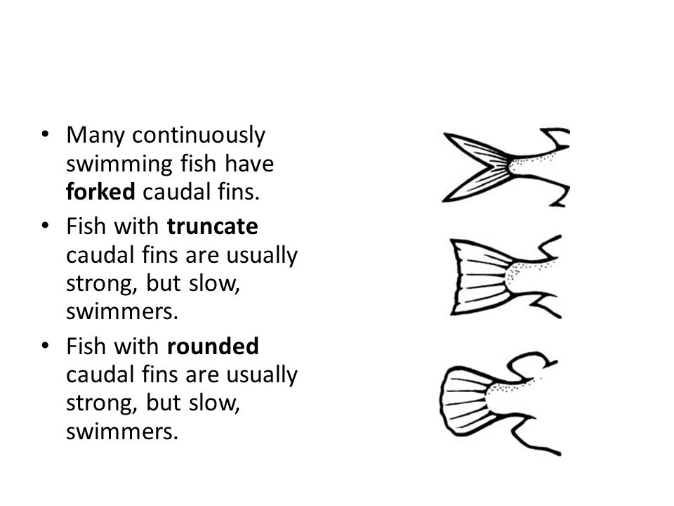 Many continuously swimming fish have forked caudal fins.