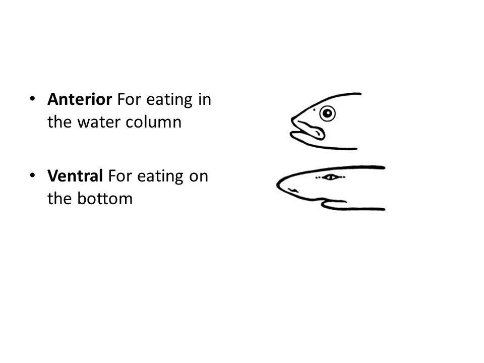 Anterior For eating in the water column