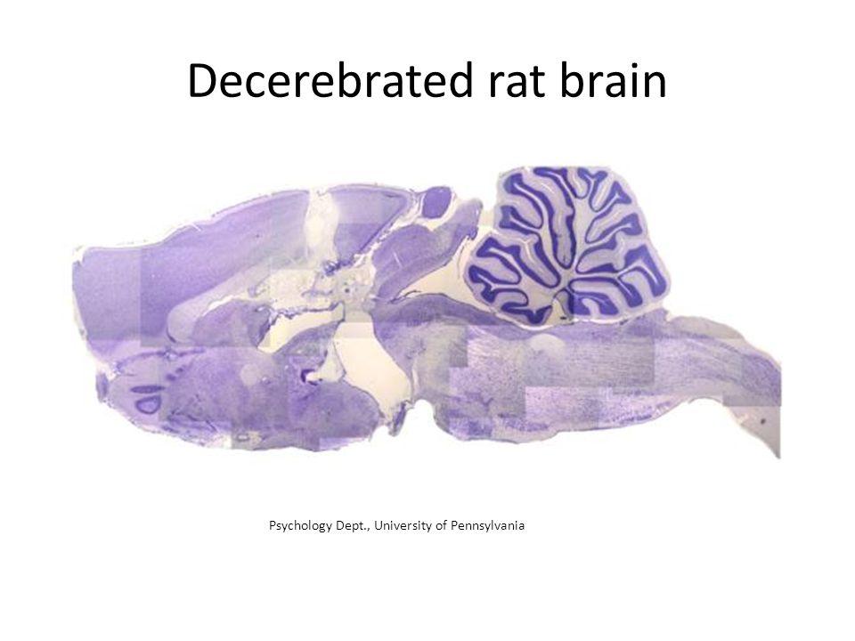 Decerebrated rat brain