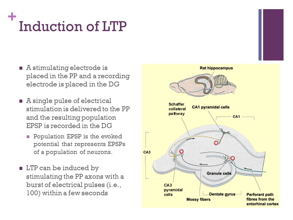 Induction of LTP A stimulating electrode is placed in the PP and a recording electrode is placed in the DG.