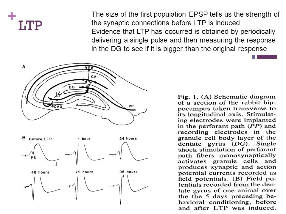 The size of the first population EPSP tells us the strength of the synaptic connections before LTP is induced