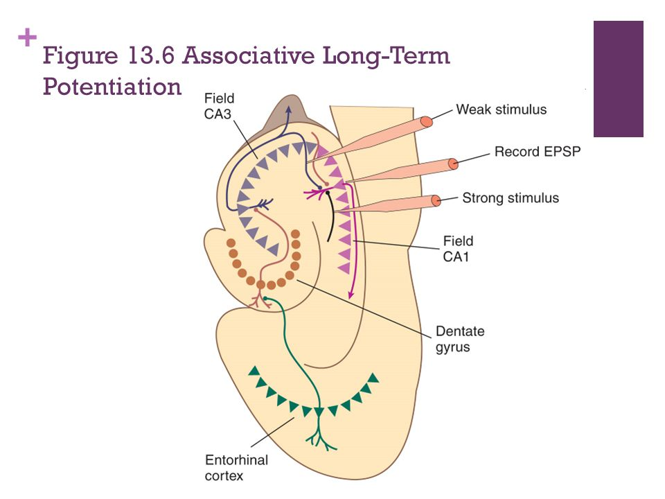 Figure 13.6 Associative Long-Term Potentiation