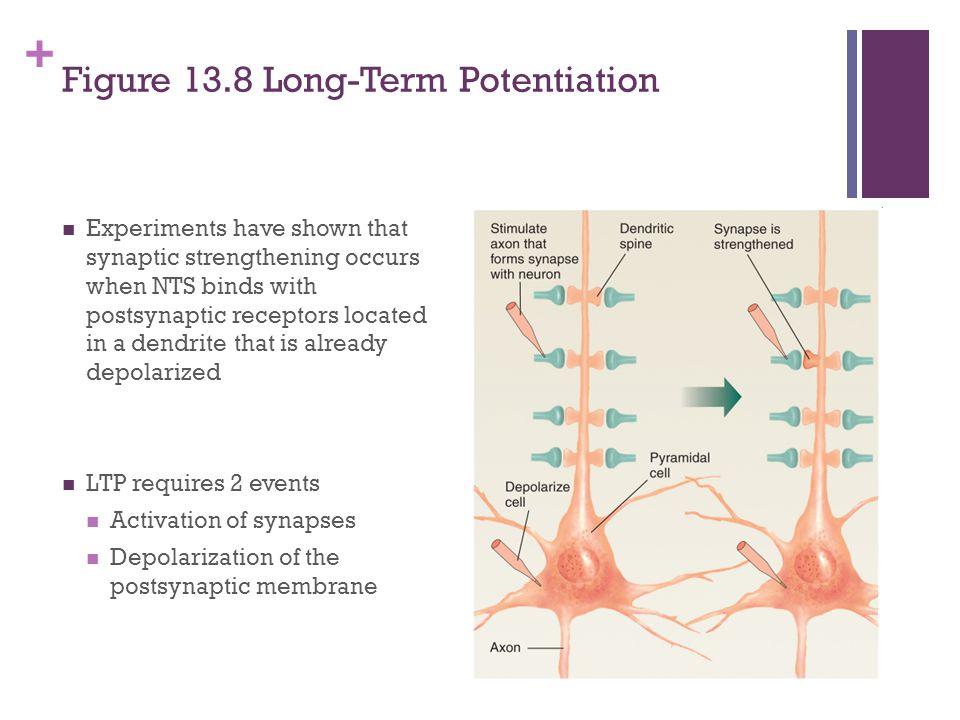 Figure 13.8 Long-Term Potentiation