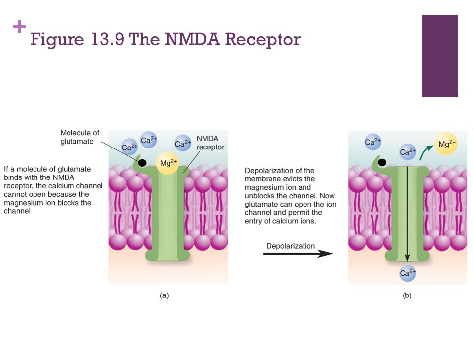 Figure 13.9 The NMDA Receptor