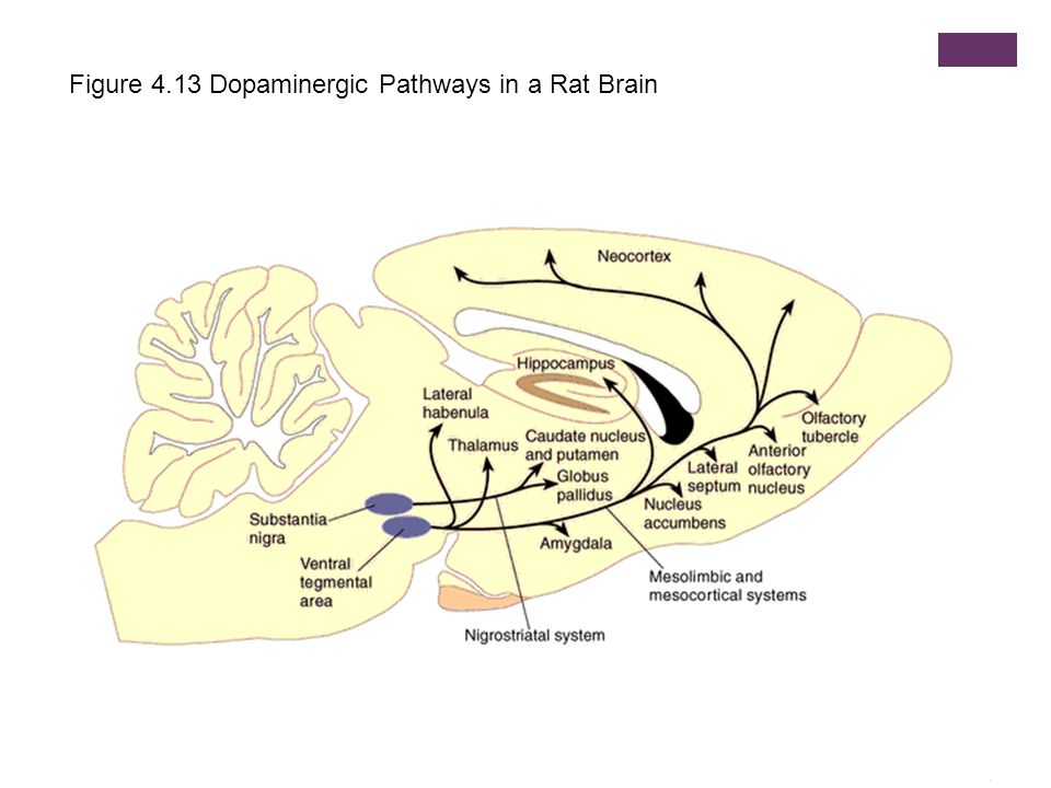 Figure 4.13 Dopaminergic Pathways in a Rat Brain