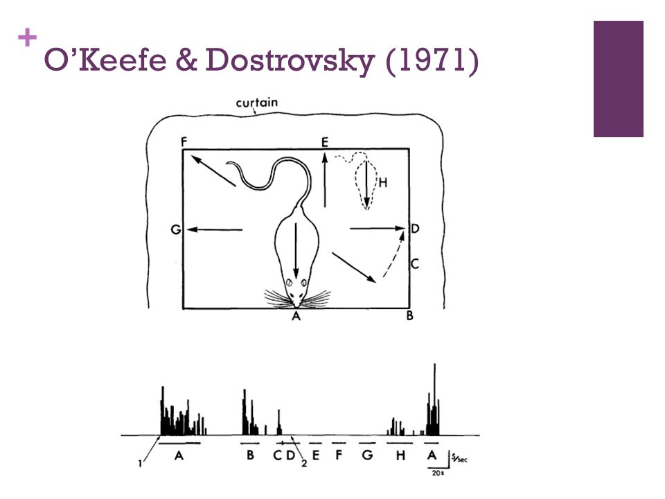O'Keefe & Dostrovsky (1971)