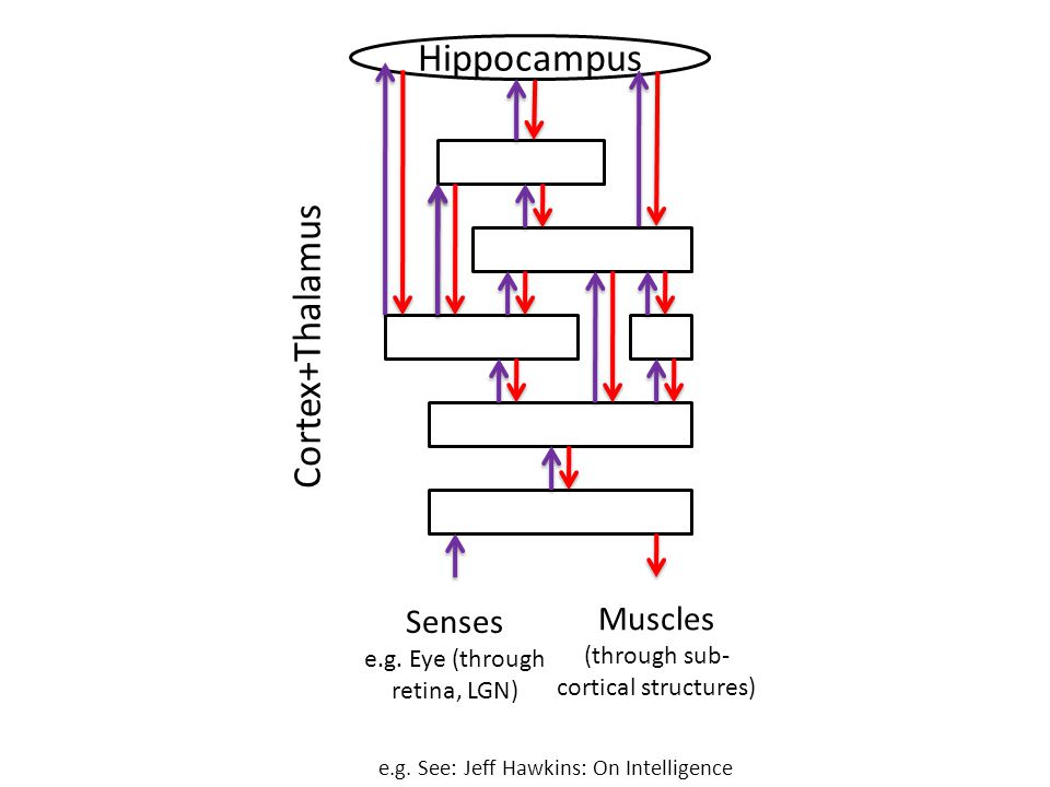 Hippocampus Cortex+Thalamus Senses Muscles