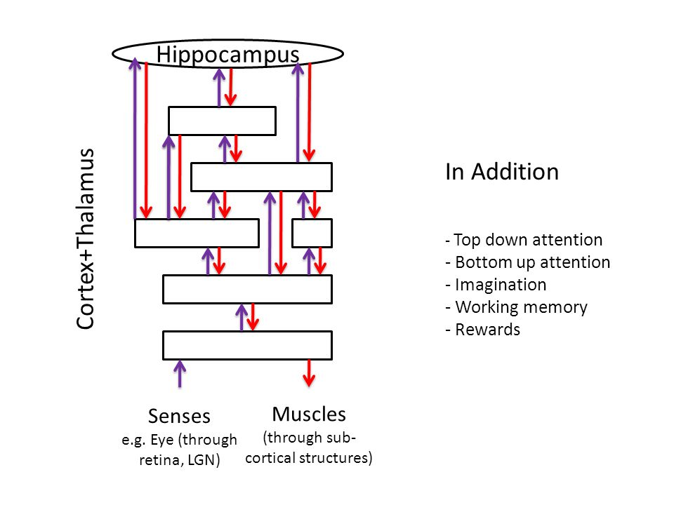 Hippocampus Cortex+Thalamus In Addition Senses Muscles