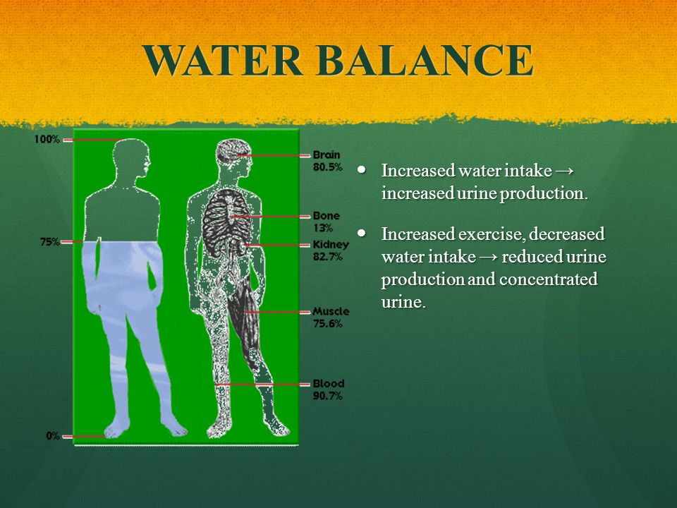 WATER BALANCE Increased water intake → increased urine production.