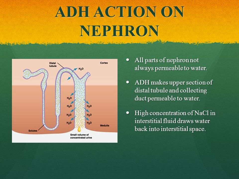 ADH ACTION ON NEPHRON All parts of nephron not always permeable to water.