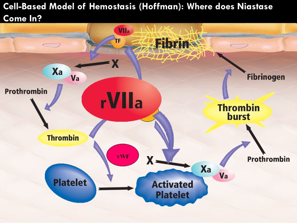Cell-Based Model of Hemostasis (Hoffman): Where does Niastase Come In