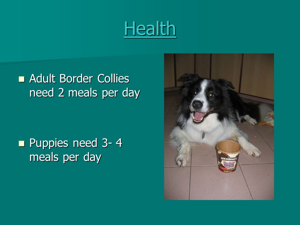 Health Adult Border Collies need 2 meals per day