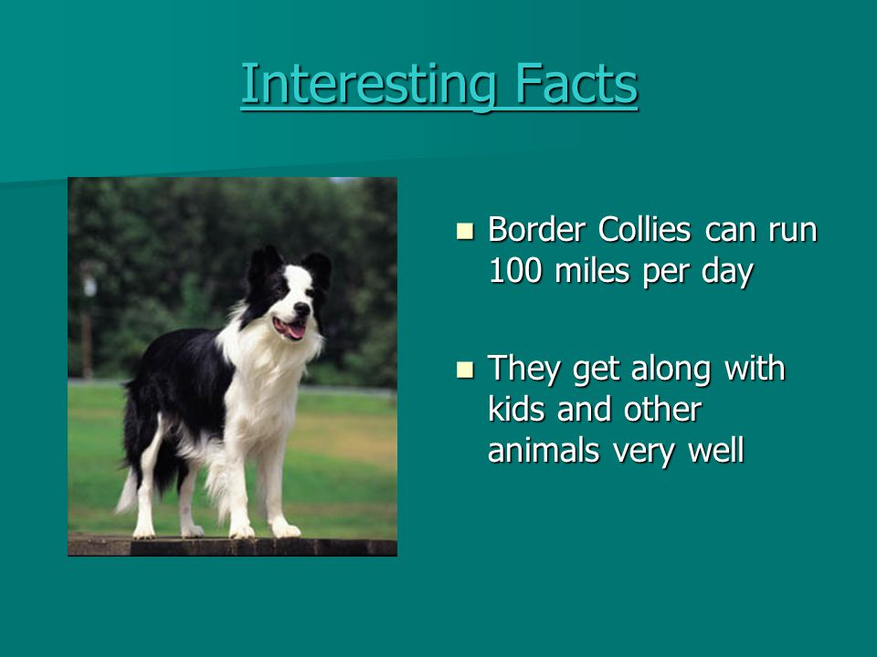Interesting Facts Border Collies can run 100 miles per day