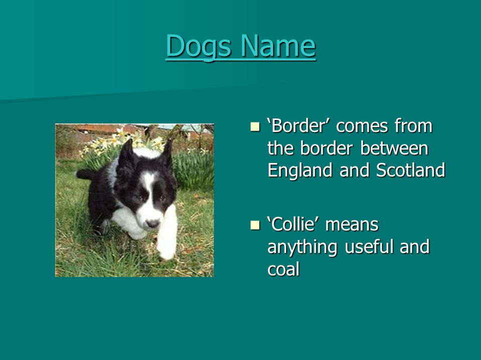 Dogs Name 'Border' comes from the border between England and Scotland