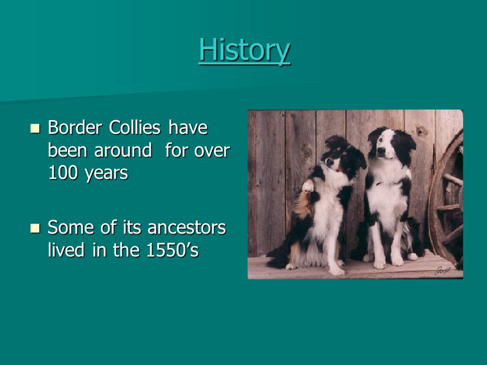 History Border Collies have been around for over 100 years
