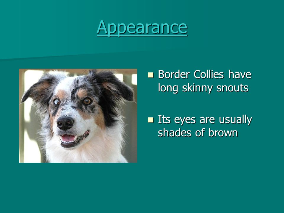 Appearance Border Collies have long skinny snouts