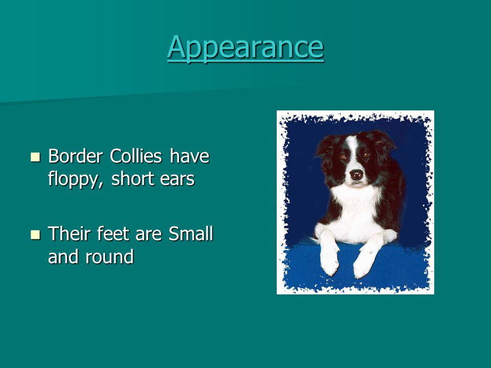 Appearance Border Collies have floppy, short ears
