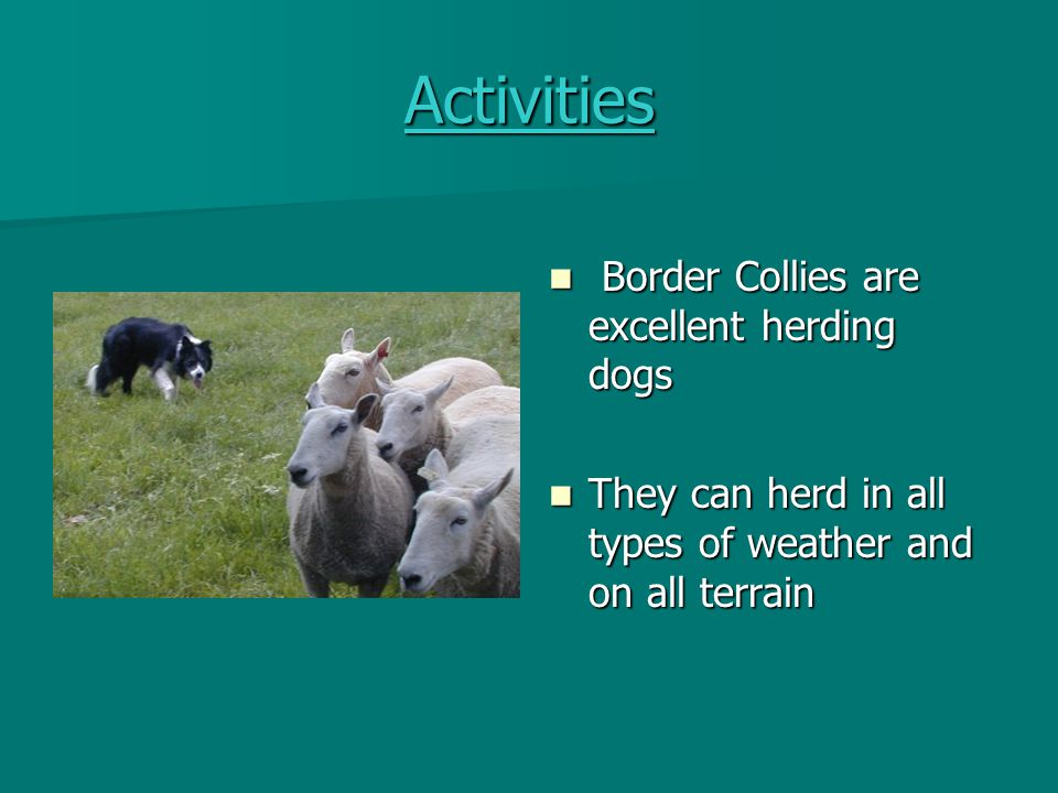 Activities Border Collies are excellent herding dogs