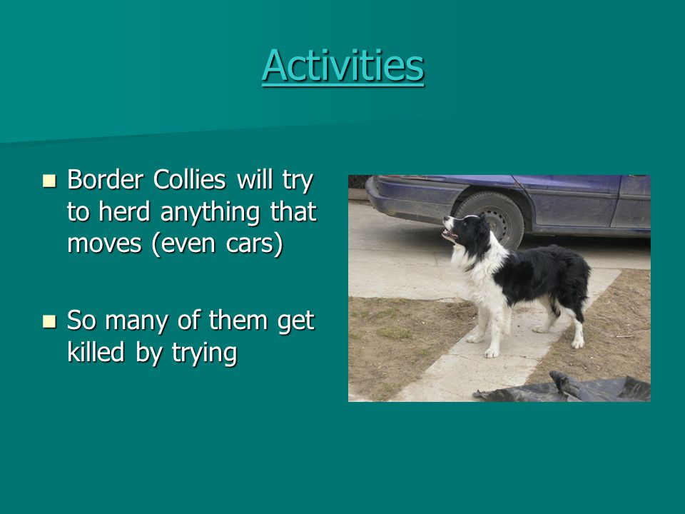 Activities Border Collies will try to herd anything that moves (even cars) So many of them get killed by trying.