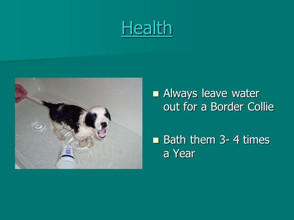 Health Always leave water out for a Border Collie