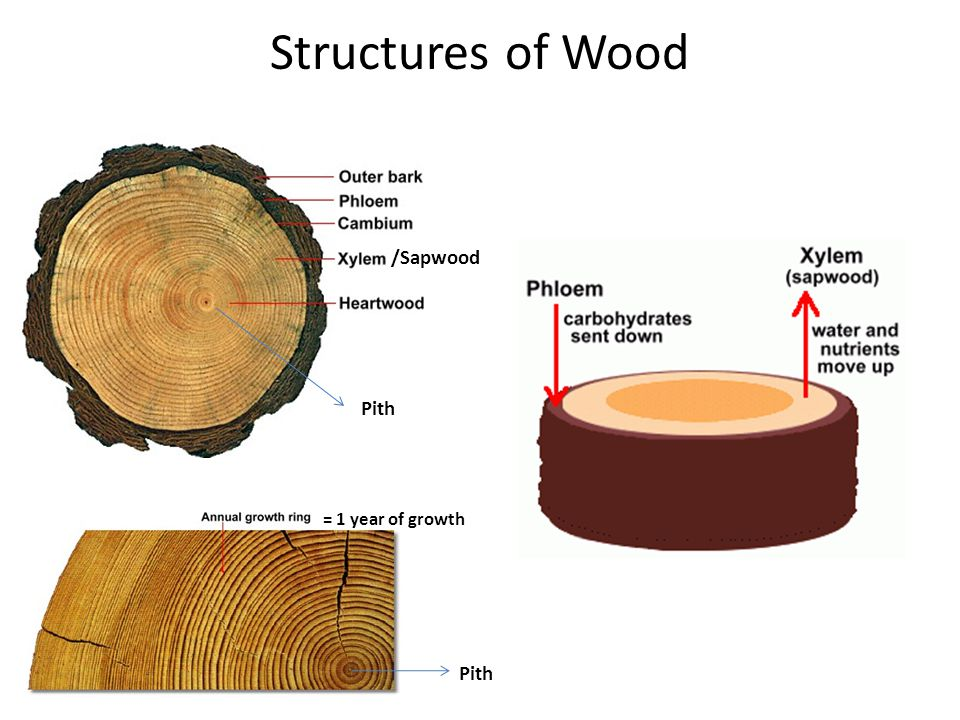 Structures of Wood /Sapwood Pith = 1 year of growth Pith