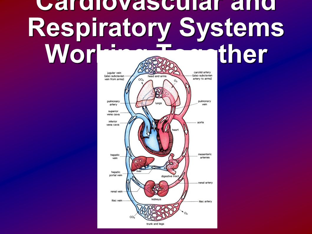 Cardiovascular and Respiratory Systems Working Together
