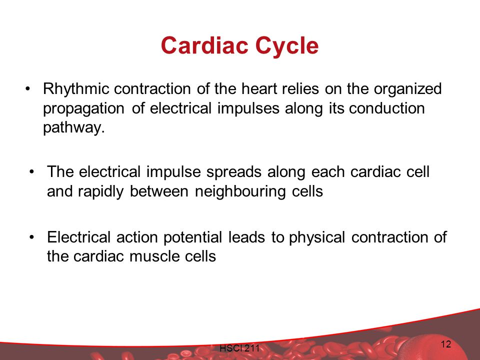 Cardiac Cycle Rhythmic contraction of the heart relies on the organized propagation of electrical impulses along its conduction pathway.