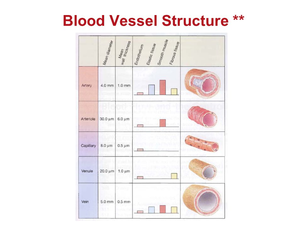 Blood Vessel Structure **