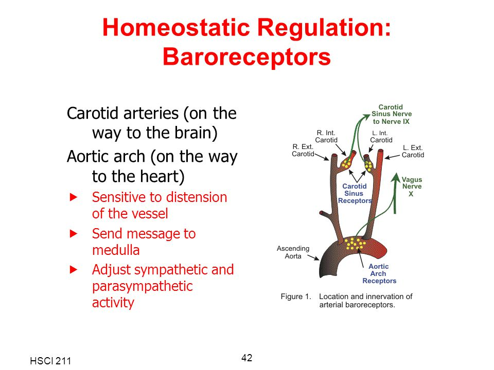 Homeostatic Regulation: Baroreceptors