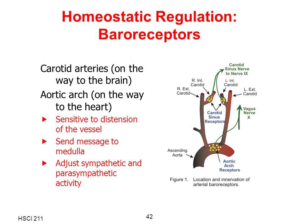 Homeostatic Regulation: Baroreceptors