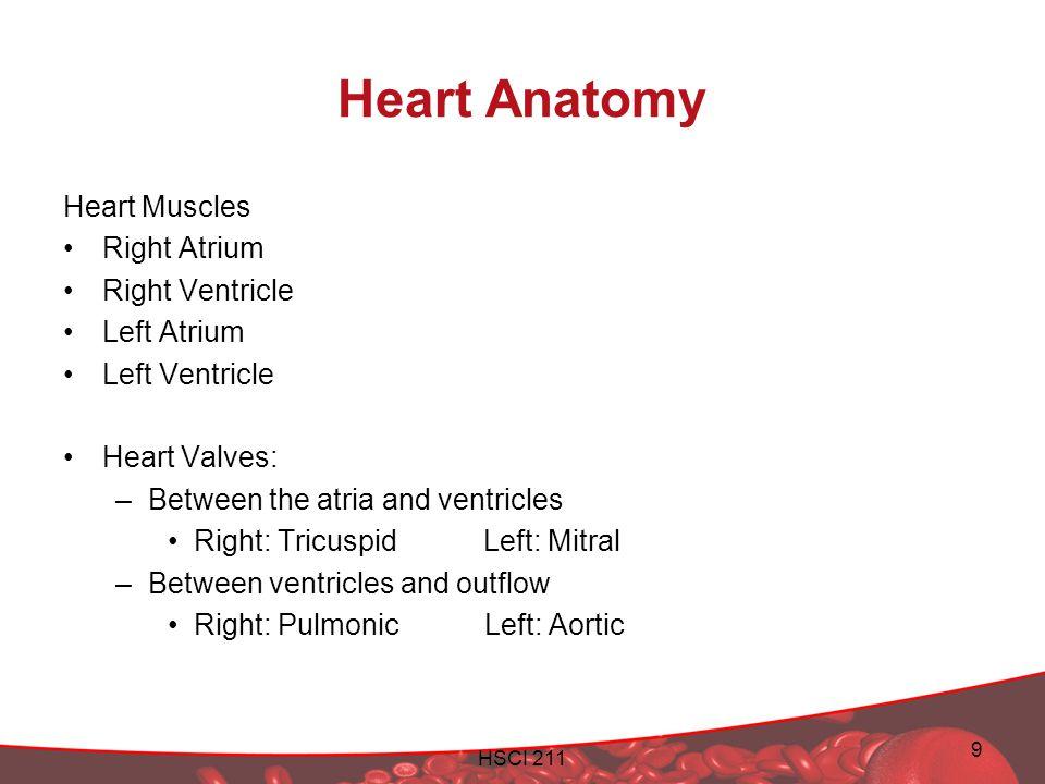 Heart Anatomy Heart Muscles Right Atrium Right Ventricle Left Atrium