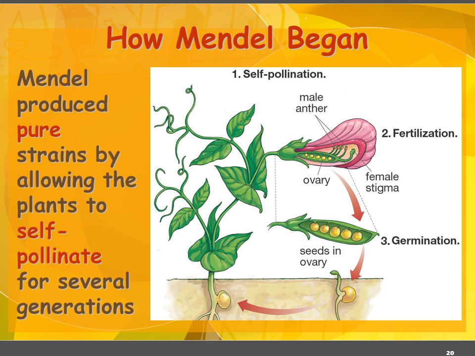 How Mendel Began Mendel produced pure strains by allowing the plants to self-pollinate for several generations.