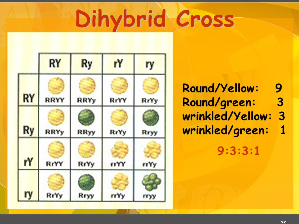 Dihybrid Cross Round/Yellow: 9 Round/green: 3 wrinkled/Yellow: 3 wrinkled/green: 1 9:3:3:1