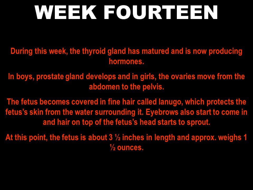 WEEK FOURTEEN During this week, the thyroid gland has matured and is now producing hormones.