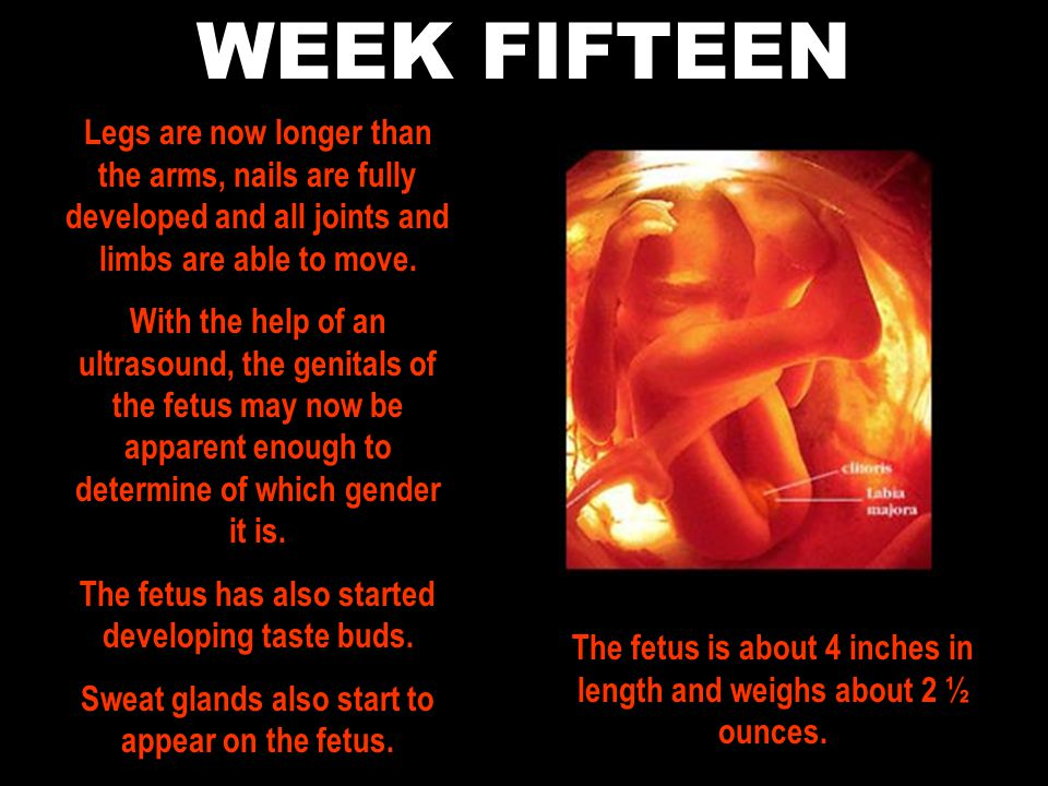WEEK FIFTEEN Legs are now longer than the arms, nails are fully developed and all joints and limbs are able to move.