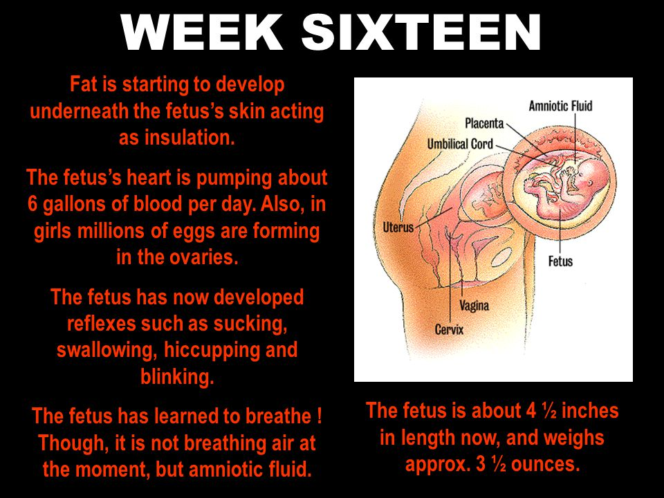 WEEK SIXTEEN Fat is starting to develop underneath the fetus's skin acting as insulation.
