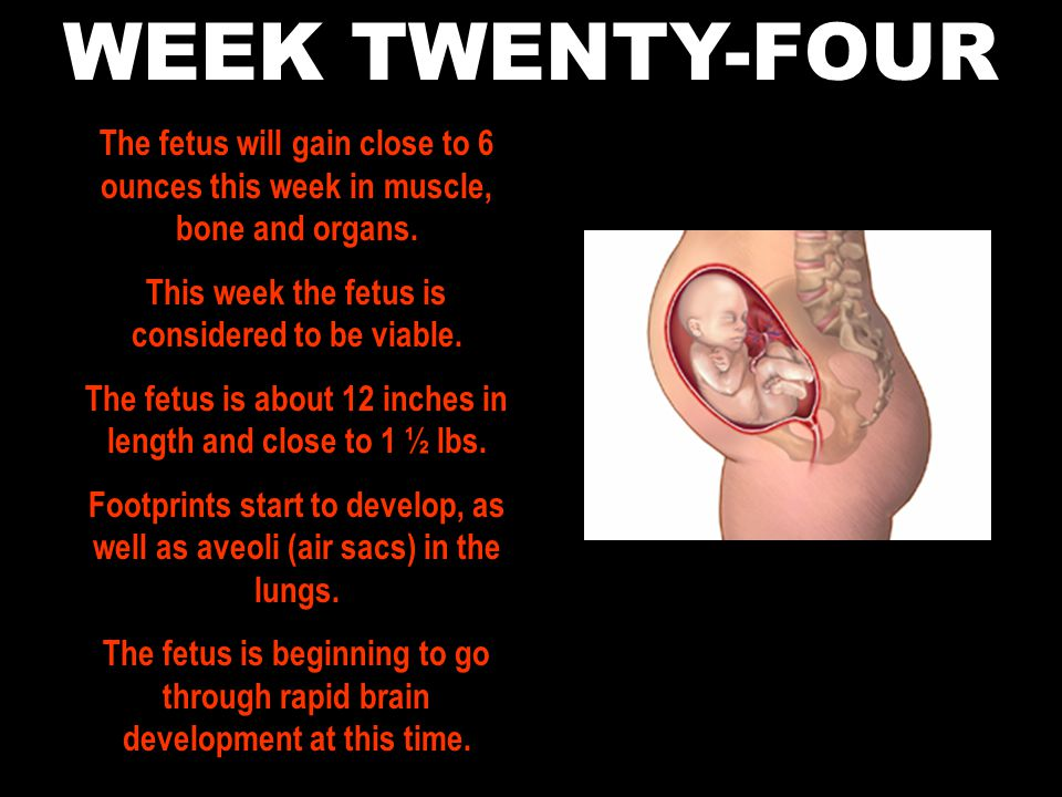 WEEK TWENTY-FOUR The fetus will gain close to 6 ounces this week in muscle, bone and organs. This week the fetus is considered to be viable.