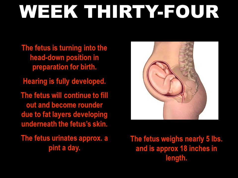WEEK THIRTY-FOUR The fetus is turning into the head-down position in preparation for birth. Hearing is fully developed.