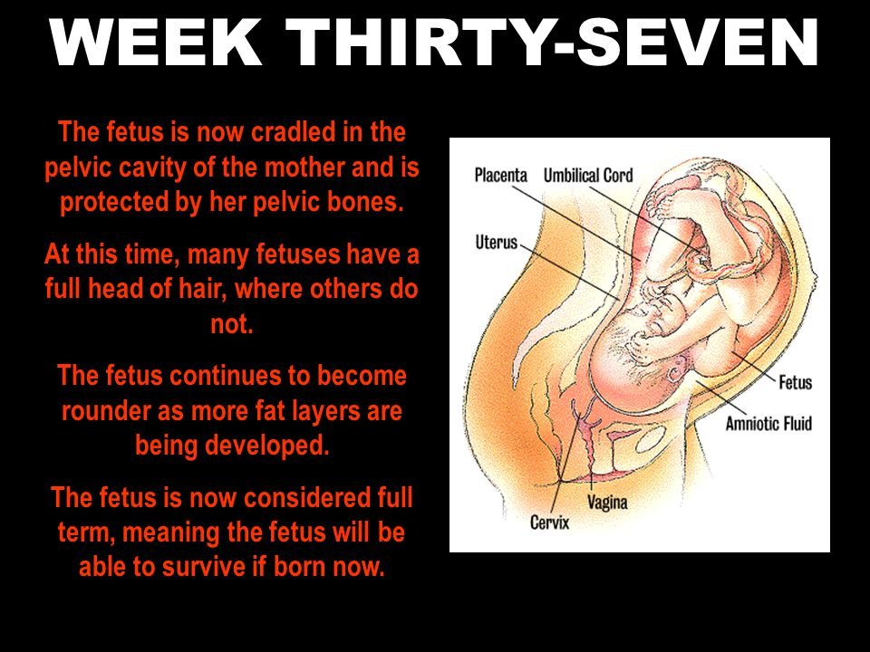 WEEK THIRTY-SEVEN The fetus is now cradled in the pelvic cavity of the mother and is protected by her pelvic bones.