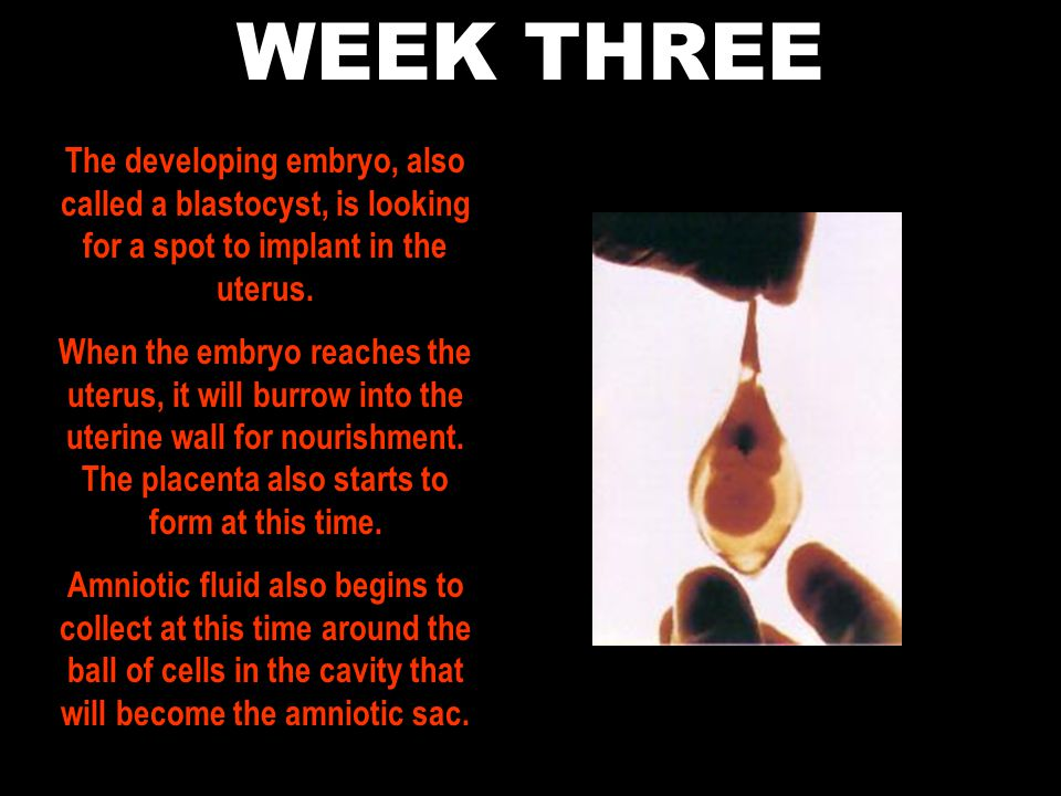 WEEK THREE The developing embryo, also called a blastocyst, is looking for a spot to implant in the uterus.